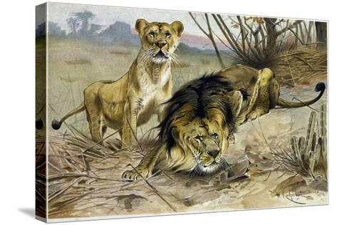 Lion and Lioness--Stretched Canvas Print