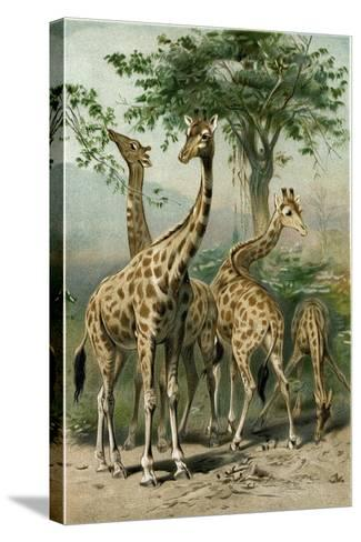 South African Giraffes--Stretched Canvas Print