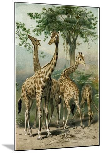 South African Giraffes--Mounted Giclee Print