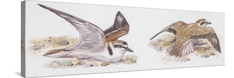 Zoology: Birds, Kentish Plover--Stretched Canvas Print
