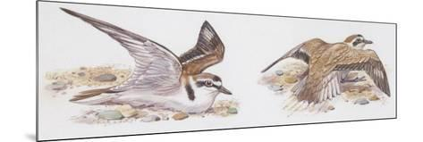 Zoology: Birds, Kentish Plover--Mounted Giclee Print