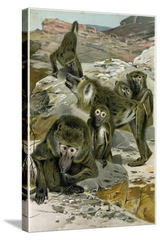 Baboons--Stretched Canvas Print