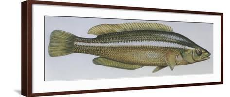 Fishes: Perciformes Labridae - Brown Wrasse (Labrus Merula)--Framed Art Print