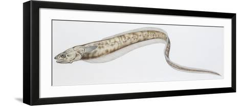 Fishes: Ophidiiformes Carapidae, Pearl Fish (Carapus Acus)--Framed Art Print