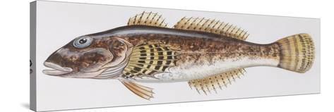 Fishes: Scorpaeniformes Cottidae - Bullhead (Cottus Gobio)--Stretched Canvas Print