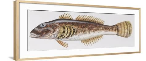 Fishes: Scorpaeniformes Cottidae - Bullhead (Cottus Gobio)--Framed Art Print