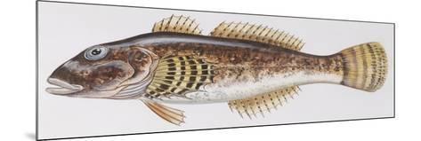 Fishes: Scorpaeniformes Cottidae - Bullhead (Cottus Gobio)--Mounted Giclee Print