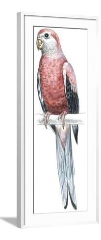 Birds: Psittaciformes, Bourke's Parrot (Neophema Bourkii)--Framed Art Print