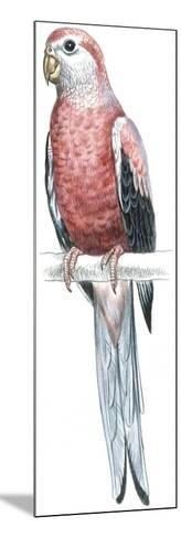 Birds: Psittaciformes, Bourke's Parrot (Neophema Bourkii)--Mounted Giclee Print