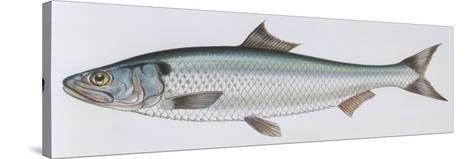 Fishes: Clupeiformes Clupeidae - Allis Shad (Alosa Alosa)--Stretched Canvas Print