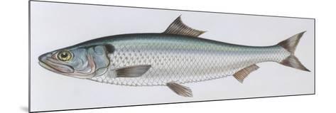 Fishes: Clupeiformes Clupeidae - Allis Shad (Alosa Alosa)--Mounted Giclee Print
