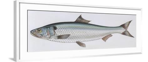 Fishes: Clupeiformes Clupeidae - Allis Shad (Alosa Alosa)--Framed Art Print