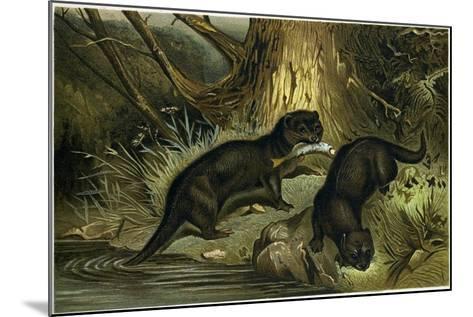 European Otter--Mounted Giclee Print