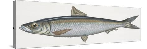 Fishes: Clupeiformes, Sardinella (Sardinella Aurita)--Stretched Canvas Print