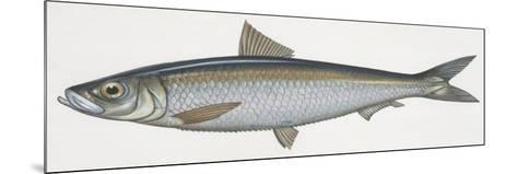 Fishes: Clupeiformes, Sardinella (Sardinella Aurita)--Mounted Giclee Print