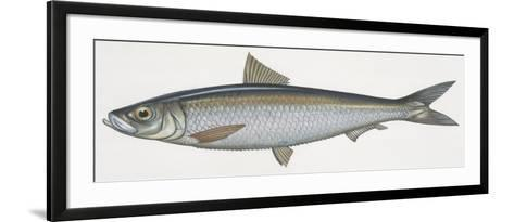 Fishes: Clupeiformes, Sardinella (Sardinella Aurita)--Framed Art Print