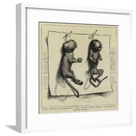 Two Young Marmozets, the First Ever Bred in Europe--Framed Art Print
