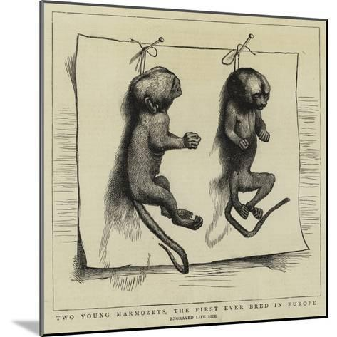 Two Young Marmozets, the First Ever Bred in Europe--Mounted Giclee Print