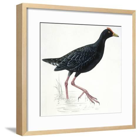 Birds: Gruiformes, Common Moorhen (Gallinula Chloropus)--Framed Art Print