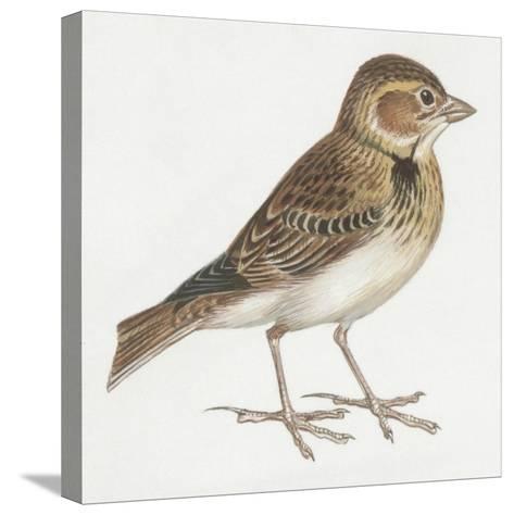 Zoology: Birds, Calandra Lark, (Melanocorypha Calandra)--Stretched Canvas Print