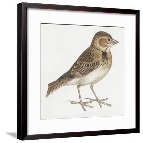 Zoology: Birds, Calandra Lark, (Melanocorypha Calandra)--Framed Art Print