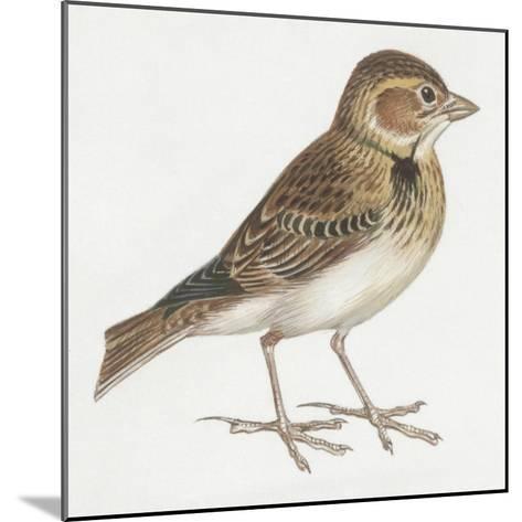 Zoology: Birds, Calandra Lark, (Melanocorypha Calandra)--Mounted Giclee Print