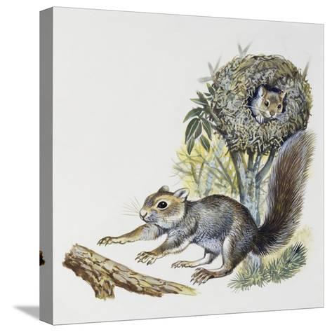 Eastern Gray Squirrel (Sciurus Carolinensis), Sciuridae--Stretched Canvas Print