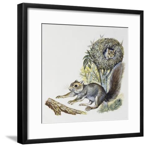 Eastern Gray Squirrel (Sciurus Carolinensis), Sciuridae--Framed Art Print