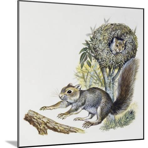 Eastern Gray Squirrel (Sciurus Carolinensis), Sciuridae--Mounted Giclee Print