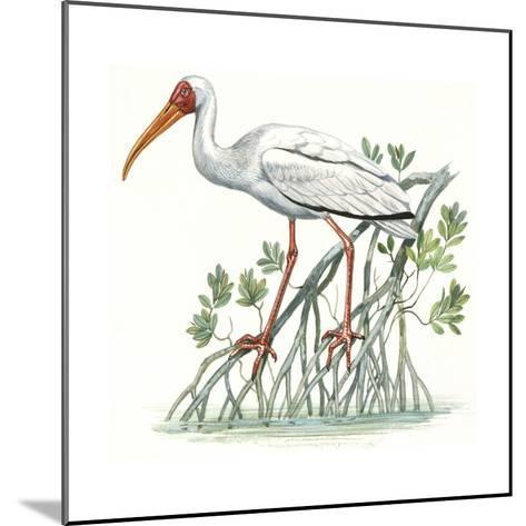 Birds: Ciconiiformes, Milky Stork, (Mycteria Cinerea)--Mounted Giclee Print