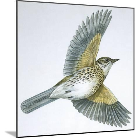 Birds: Passeriformes, Song Thrush (Turdus Philomelos)--Mounted Giclee Print