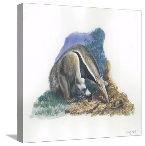 Giant Anteater Myrmecophaga Tridactyla Catching Ants--Stretched Canvas Print