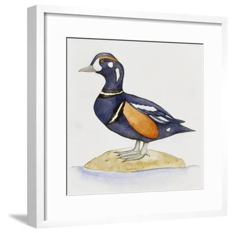 Harlequin Duck (Histrionicus Histrionicus), Anatidae--Framed Art Print