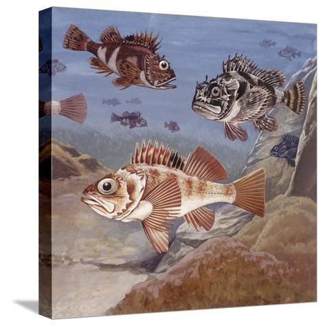 Fishes, Different Examples--Stretched Canvas Print