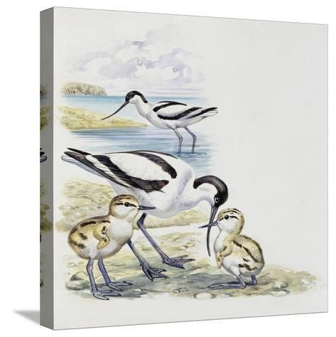 Pied Avocet (Recurvirostra Avosetta) with Chicks, Recurvirostridae--Stretched Canvas Print