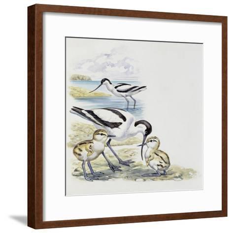 Pied Avocet (Recurvirostra Avosetta) with Chicks, Recurvirostridae--Framed Art Print