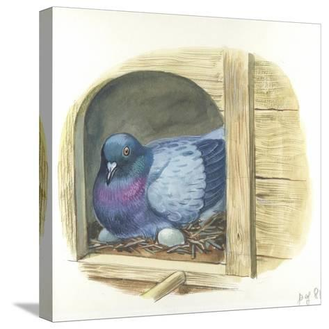 Rock Pigeon Columba Livia Warming Eggs in Nest--Stretched Canvas Print