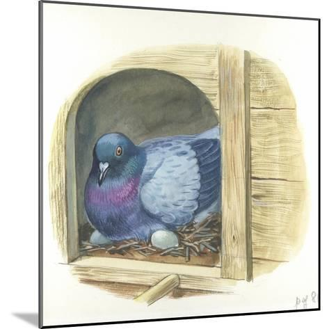 Rock Pigeon Columba Livia Warming Eggs in Nest--Mounted Giclee Print