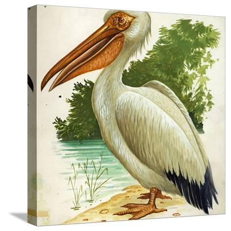 Great White Pelican Pelecanus Onocrotalus--Stretched Canvas Print