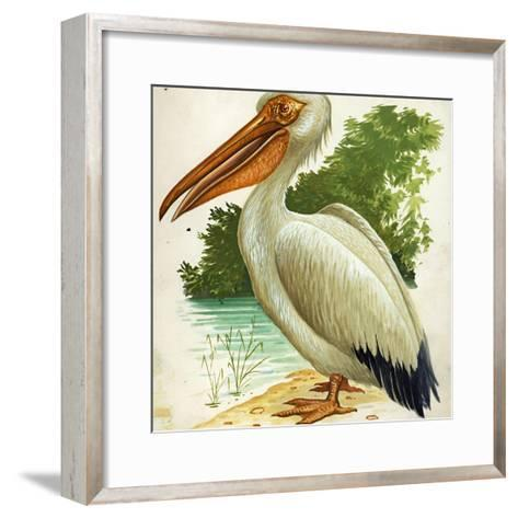 Great White Pelican Pelecanus Onocrotalus--Framed Art Print