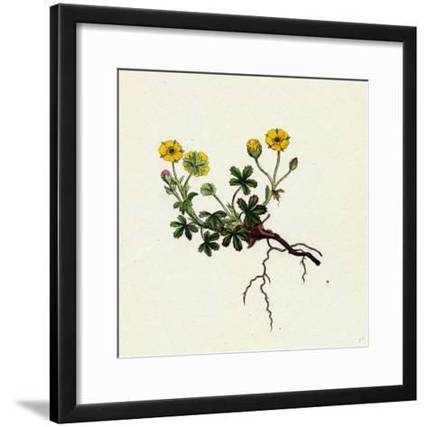 Potentilla Verna Spring Cinquefoil--Framed Art Print