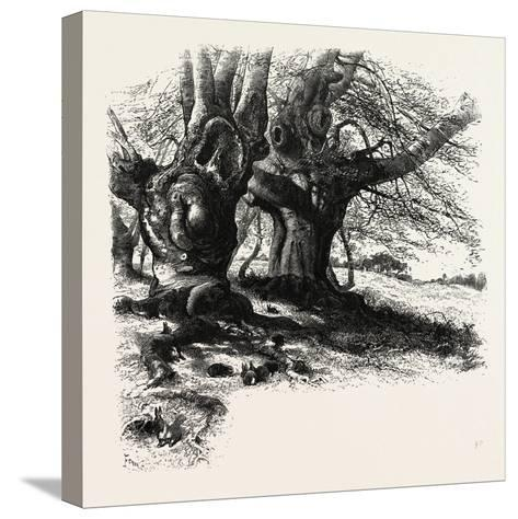 The Forest Scenery of Great Britain: Burnham Beeches, UK--Stretched Canvas Print