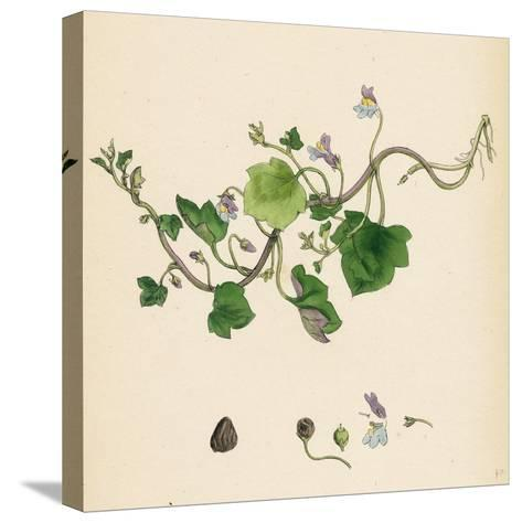 Linaria Cymbalaria Ivy-Leaved Toadflax--Stretched Canvas Print