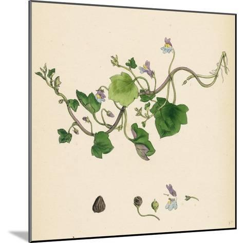 Linaria Cymbalaria Ivy-Leaved Toadflax--Mounted Giclee Print