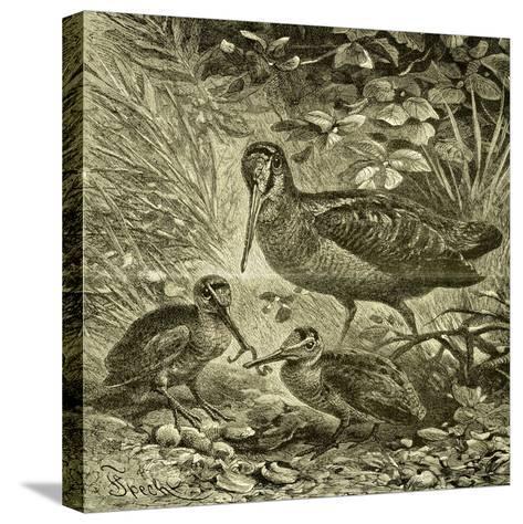 Woodcock Austria 1891--Stretched Canvas Print