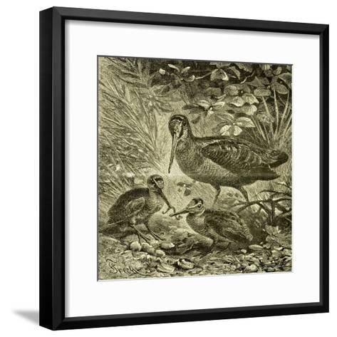 Woodcock Austria 1891--Framed Art Print