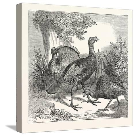 Wild Turkeys--Stretched Canvas Print