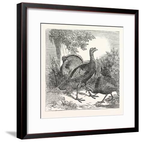 Wild Turkeys--Framed Art Print