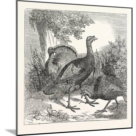 Wild Turkeys--Mounted Giclee Print