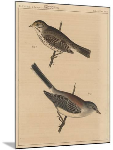 Birds, Plate XXVIII, 1855--Mounted Giclee Print